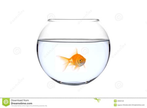 a golden fish in a bowl stock images image 2292124