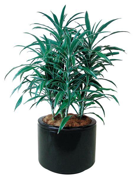 floor plant indoor plants floor plants gaddys indoor plant hire