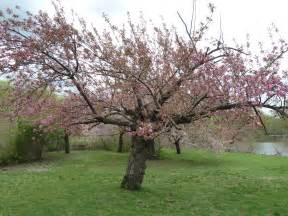 cherry tree the traveling naturalist