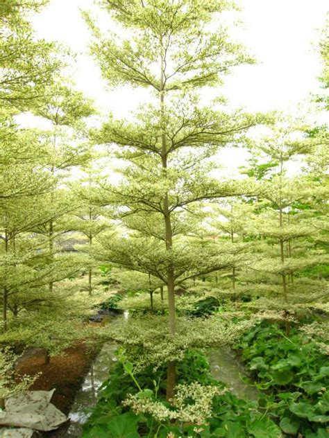 Bibit Pohon Ketapang Kencana ketapang kencana agro sejahtera