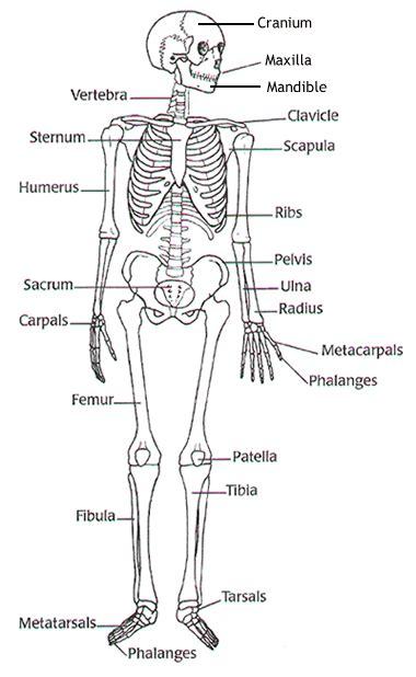 Beschriftung Skelett by Human Biology Compendium Review Ch 5 7