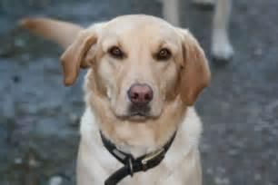 Years ago for sale dogs labrador retriever richmond