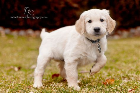 golden retriever puppies virginia karnes photography williamsburg children and family photographer golden