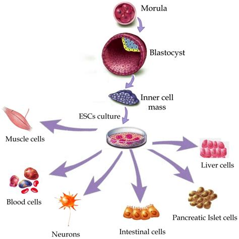 stem cells do stem cells work in cosmetics