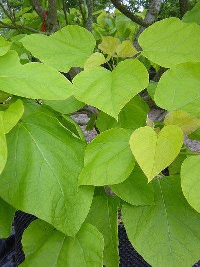 large bright green foliage  catalpa deciduous trees