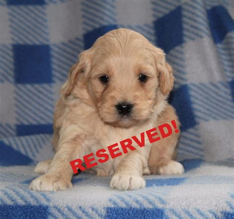mini goldendoodle puppies nc miniature goldendoodle puppies for sale in carolina breeder nc happytail puppies