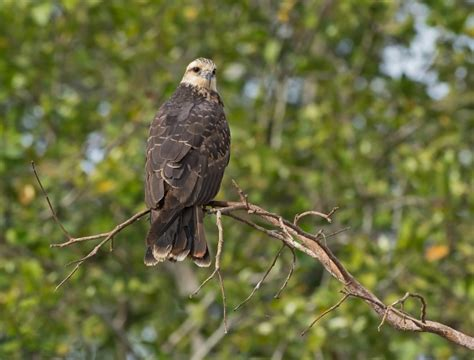 How To Find A Snail In Your Backyard Snail Kite Birdwatching