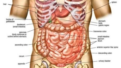 Diagram Of Your Abdomen