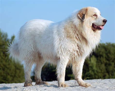 pyrenean mastiff puppies big german rottweiler wallpaper