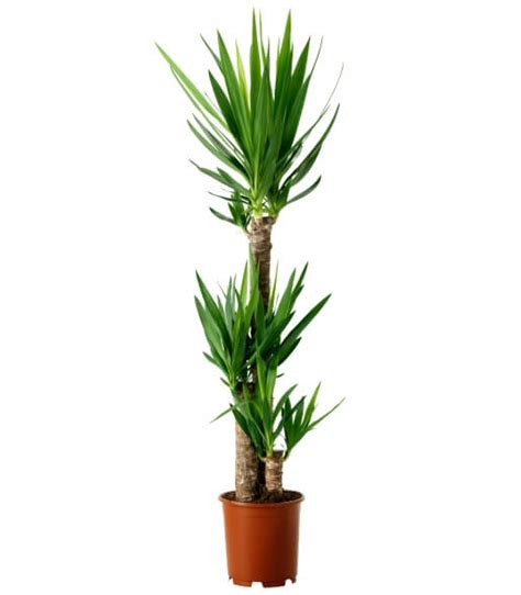 Houseplant For Low Light by Yucca Elephantipes Spineless Yucca Stick Yucca Our