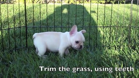 bulldog puppies for sale san diego bulldog for sale san diego dogs in our photo
