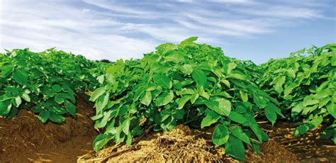 Plant Disease Caused By Bacteria - potato alltech crop science