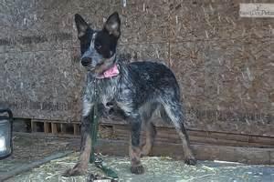 Australian cattle dog blue heeler puppy for sale near bend oregon