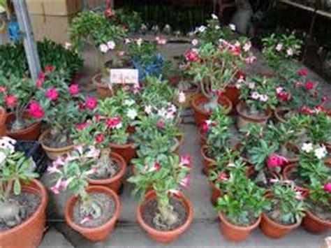 teks prosedur membuat tanaman hias 4 cara mudah pembibitan bunga adenium tanaman bunga hias