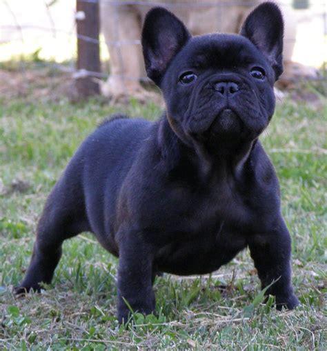 black bulldog puppy 10 best bulldog names