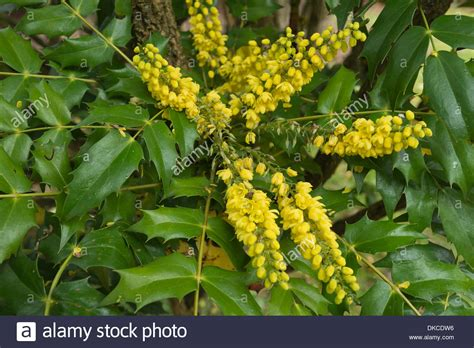 yellow fragrant flowering mahonia an evergreen shrub in gentle mist stock photo royalty free