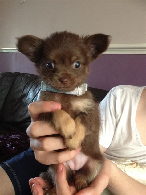 chocolate chihuahua puppies chocolate chihuahua puppies newcastle upon tyne tyne and wear pets4homes