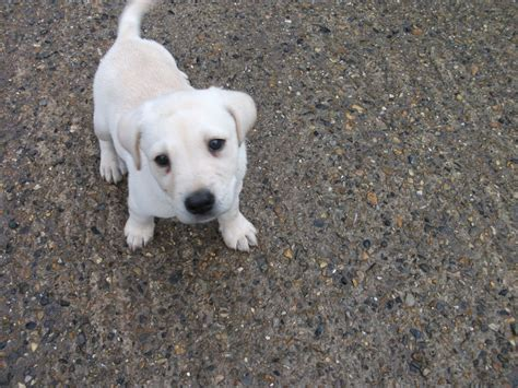 cutest puppies for sale the gallery for gt large breeds