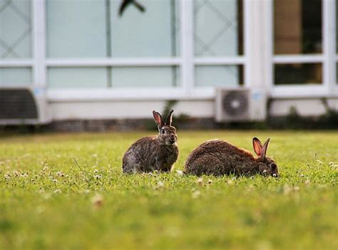 getting rid of rabbits in backyard how do i get rid of rabbits in my backyard 28 images