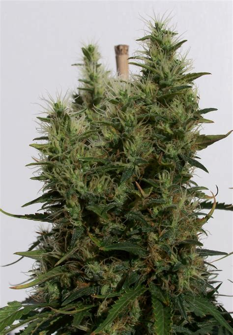 northern lights 5 x haze feminised seeds sensi seeds northern lights 5 x haze strain sensi seeds cannapedia