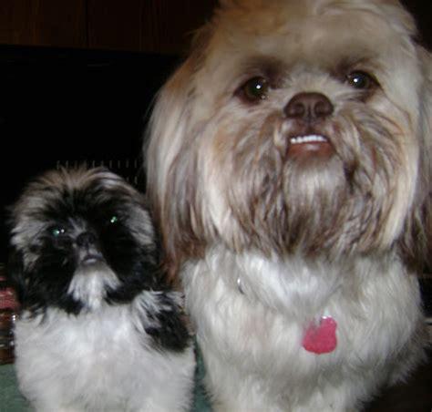 shih tzu puppies for sale orange county shih tzu puppies for sale in riverside county