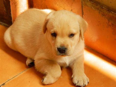 labrador puppies price labrador retriever puppies for sale mohit 1 10738 dogs for sale price of puppies