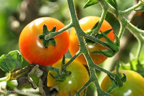 Wie Pflege Ich Tomatenpflanzen 5105 by Wie Pflegt Tomatenpflanzen Landwirtschaftskammer