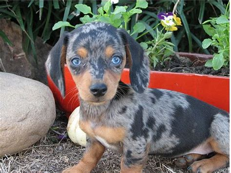blue dachshund puppies blue dapple blue eyed dachshund breeds picture