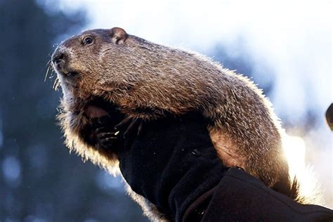 Stylish Groundhog Handler Me Stace by Photos Punxsutawney Phil Pictures Of Weather Predicting