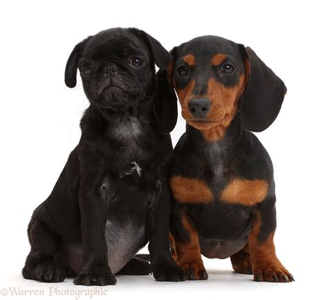 pug and dachshund dogs black pug puppy and black and dachshund photo wp43497
