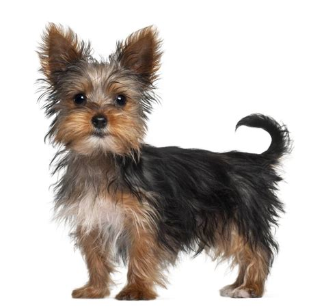 are yorkies with black coat with terriers yorkies wallpaper