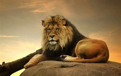 lion wallpaper pinterest lion male lion 1 wallpapers pictures photos images