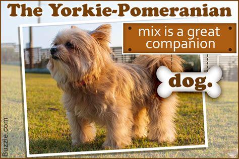 pomeranian yorkie mix information exclusive information about the yorkie pomeranian mix