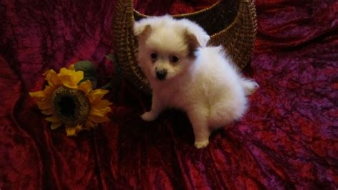 pomeranian x papillon pomeranian x papillon quot paperanian quot puppy hinckley leicestershire pets4homes