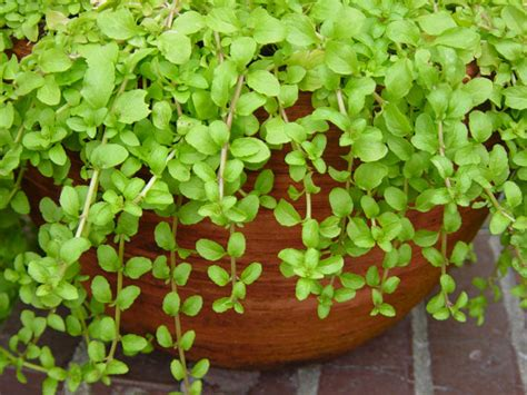 where to buy herb plants pennyroyal seeds pennyroyal mintmentha pulegium by