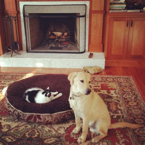 cats stealing dog beds these dogs catch the cats stealing their beds and their