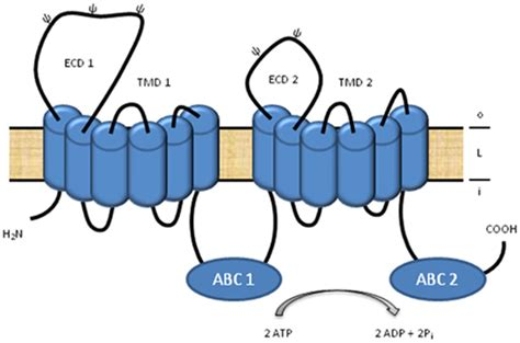atp binding cassette frontiers a subclass atp binding cassette proteins in