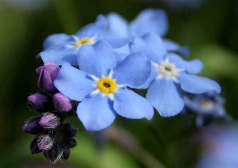 fiori acquatici nomi coltivare i non ti scordar di me fiori in giardino