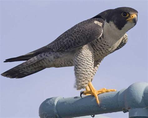 images of a falcon peregrine falcon audubon field guide
