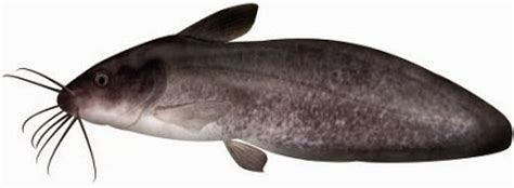 Umpan Sangat Responsive Tombro Ikan umpan jitu mancing ikan dukang sembilang