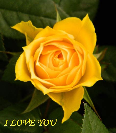 i love you with yellow rose photograph by gallery of hope