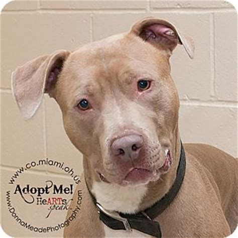 pitbull puppies for adoption in ohio best 25 dogs for adoption ideas on dogs for rehoming puppy for adoption