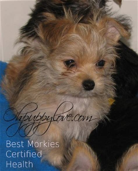 yorkie puppies springfield il teacup yorkie puppies for sale in central illinois how much money do actuarial