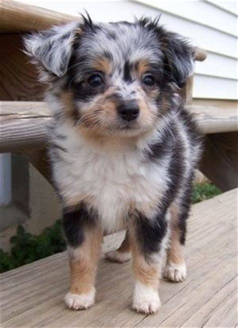 yorkie aussie mix 21 poodle cross breeds you to see to believe