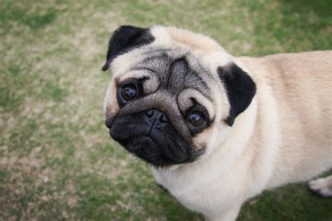 why are pugs tails curly 8 reasons why owning a pug is a bad idea