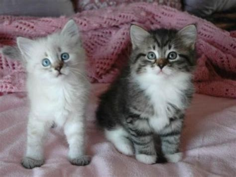 Siberian Cats Shedding by 8 Best Images About Hypoallergenic Cats On