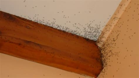 how to get rid of ants inside the house how to get rid of ants aussie pest control