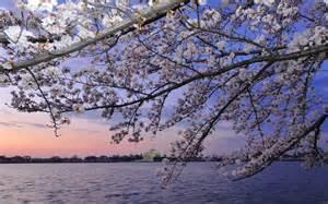 Japanese Blossom Tree 100 year old japanese cherry trees blossom in washington