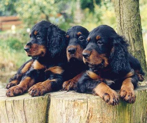 gordon setter puppies gordon setter puppies dogs i