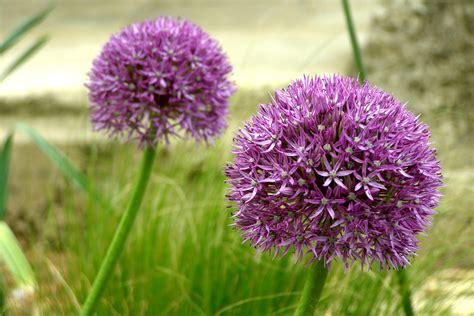 garlic flower garlic flowers at the garlic farm on the isle of wight